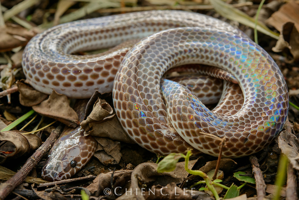 Widespread throughout much of Southeast Asia, the Sunbeam Snake ((Xenopeltis unicolor)) is a burrowing species commonly associated with cultivated areas. It is named after the rainbow-like iridescence of its scales.
