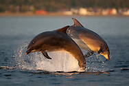 Social group of bottlenose dolphins playing in Moray Firth in beautiful golden evening light. Sequence Pic 1 of 6
