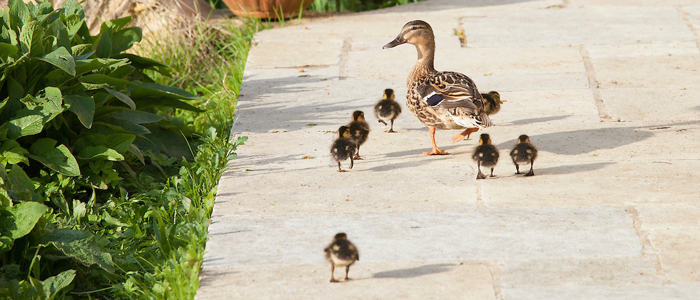 Female mallard duck with new ducklings, Anas platyrhynchos, strolling on garden patio in springtime at Swinbrook, the Cotswolds, UK