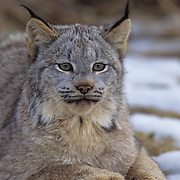 Canada Lynx (Lynx canadensis) portrait of an adult in the Rocky Mountains of Montana during the wintertime.  Captive Animal.