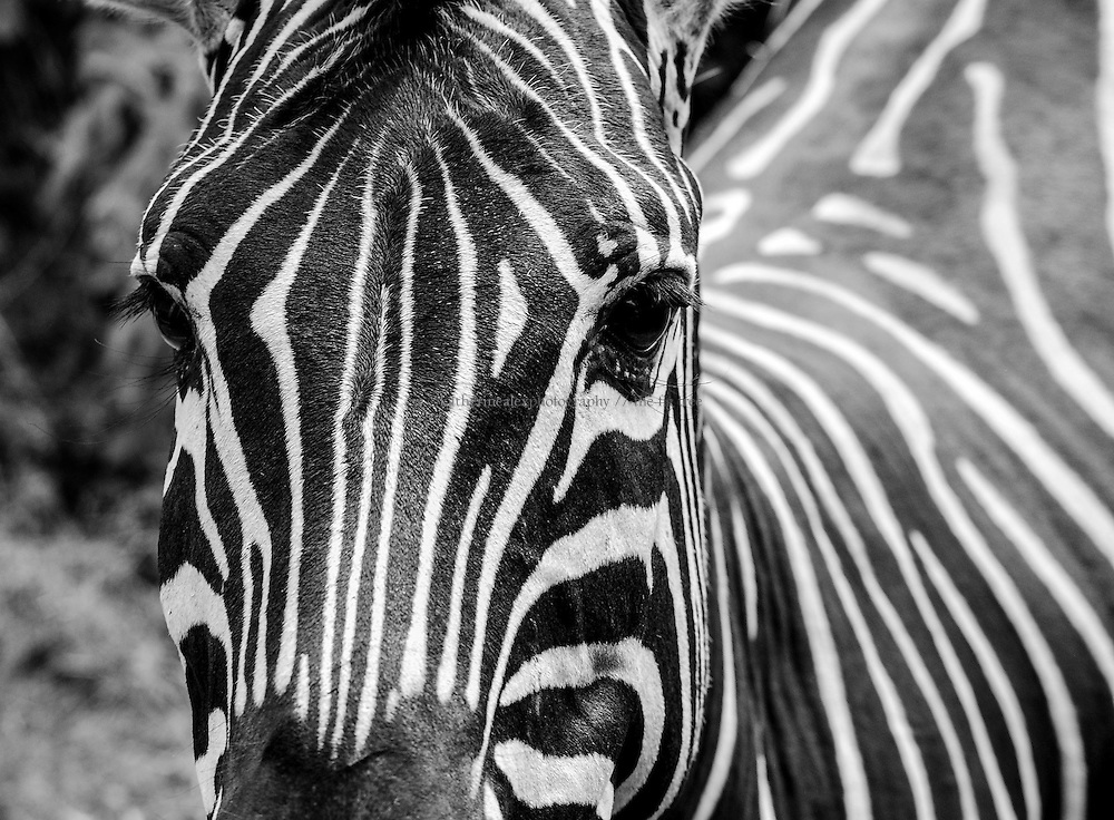 Thick-striped zebra, South Africa.<br />