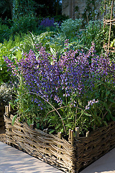 Salvia officinalis - sage - planted in woven willow raised bed