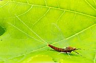 Brushlegged Mayfly (Isonychia sp.)<br /> ALABAMA: Tuscaloosa Co.<br /> Tulip Tree Springs off Echola Rd.; Elrod<br /> 3-May-2016<br /> J.C. Abbott #2807 &amp; K.K. Abbott