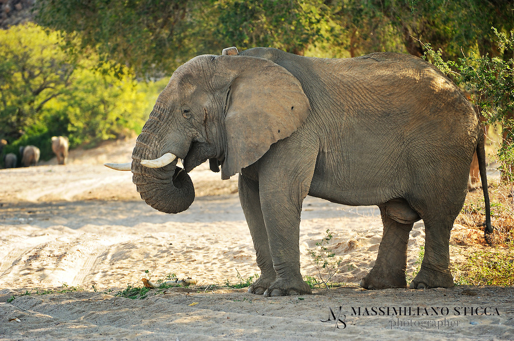 Namibia's desert elephants are a source of great interest and this page aims to provide information and photos of the desert elephants from the Southern Kunene Region of Namibia, Africa.Although not a separate species, and not much different from other savannah elephants Loxodonata africana africana, Namibia's desert-dwelling elephants are special nonetheless.  They are of high national and international conservation priority, and have been designated as top priority for protection by the IUCN (International Union for the Conservation of Nature).  They live in the Kunene Region,  encompassing 115,154km2 of mostly sandy desert, rocky mountains and arid gravel plains in Namibia's northwest.They have adapted to their dry, semi-desert environment by having a smaller body mass with proportionally longer legs and seemingly larger feet than other elephants. Their physical attributes allow them to cross miles of sand dunes to reach water. They have even been filmed sliding down a dune face to drink at a pool in a desert oasis..They survive by eating moisture-laden vegetation growing in ephemeral riverbeds and with their ability to go several days without drinking water. Sometimes they must travel long distances to reach a water source. By living in smaller than average family units of only two or three animals, they decrease pressure on food and water resources. Researchers have noted that they destroy fewer trees than elephants living in higher rainfall areas in other parts of Africa.There is only one other group of desert-dwelling elephants in the world. They live in Mali, North Africa, where they were forced into their desert habitat by human population expansion. These also belong to the species Loxodonta africana africana..INFO By http://www.desertelephant.org