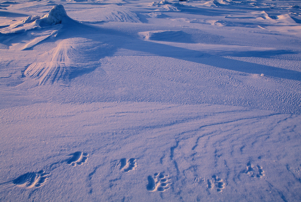 Polar bear foot prints, Baffin Island, Canada.