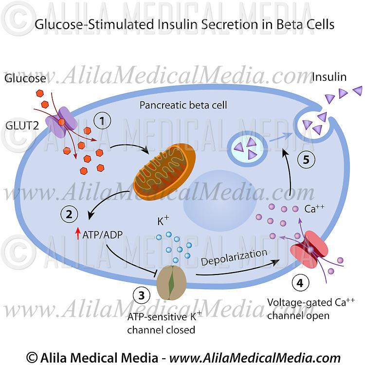 Glucose Stimulated Insulin Secretion In Beta Cells Alila Medical
