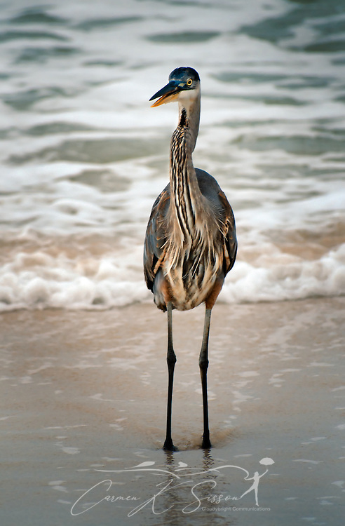 A Great Blue Heron opens its bill to call as it stands in the surf on Dauphin Island, Ala. (Photo by Carmen K. Sisson/Cloudybright)