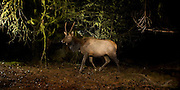 On a wet and miserable night, a spike bull roosevelt elk (Cervus canadensis roosevelti) traverses a muddy elk trail near the Oregon Coast. This was photographed on a natural land preserve managed by the North Coast Land Conservancy.