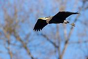 A great blue heron (Ardea herodias) flies among the trees near a heron rookery in Kenmore, Washington.
