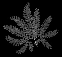 X-ray image of an American maidenhair fern frond (Adiantum pedatum, white on black) by Jim Wehtje, specialist in x-ray art and design images.