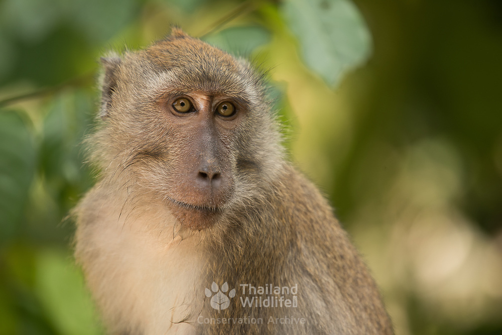 Crab-eating macaque (Macaca fascicularis) in Mu Ko Lanta national marine park, Thailand