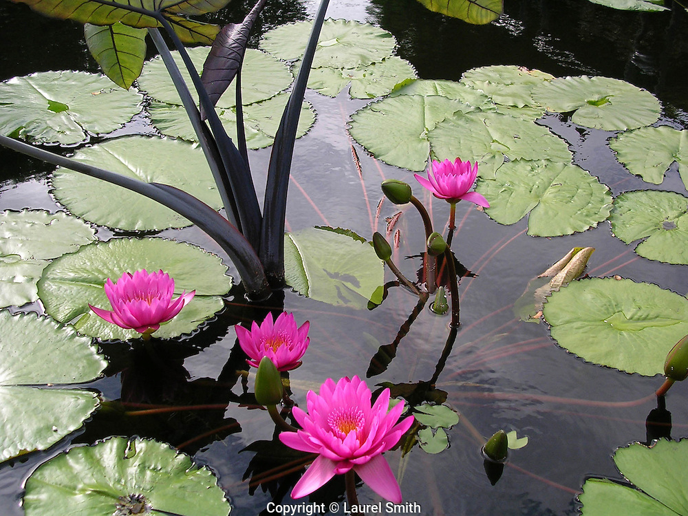 Pink Water Lilies ~ A family of graceful pink water lilies in a pond.<br /> &copy; Laurel Smith
