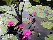 Pink Water Lilies ~ A family of graceful pink water lilies in a pond.<br />