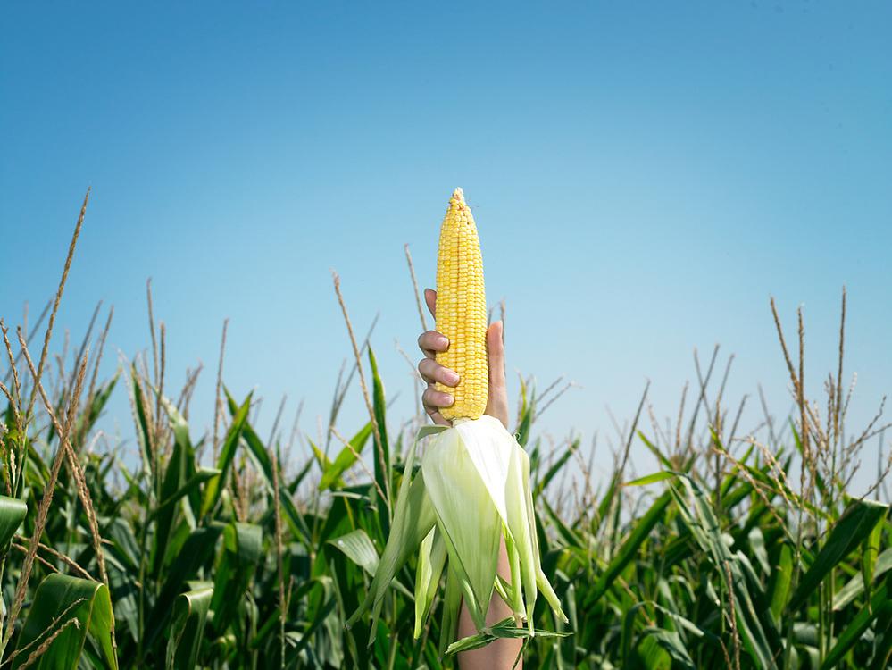 Woman's hand holding ear of corn above corn field.