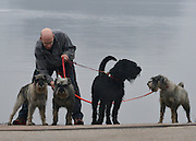 © Licensed to London News Pictures. 08/03/2013. Birmingham, UK. A man untangles dog leads. Dogs and owners on Day two of Crufts on 8th March 2013 at the National Exhibition Centre (NEC). Crufts, which is the largest annual dog show in the world, hosts over 20,000 dogs and owners who compete in a variety of categories.  Photo credit : Stephen Simpson/LNP