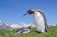 King penguin, Aptenodytes patagonicus portrait at Saint Andrews Bay on South Georgia Island.