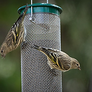 Pines Siskins feeds at a metal seed feeder and the randall davey audubon center in Santa Fe New Mexico