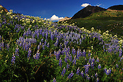 Lupine and Parsnip cover a hillside near Crested Butte, Colorado.