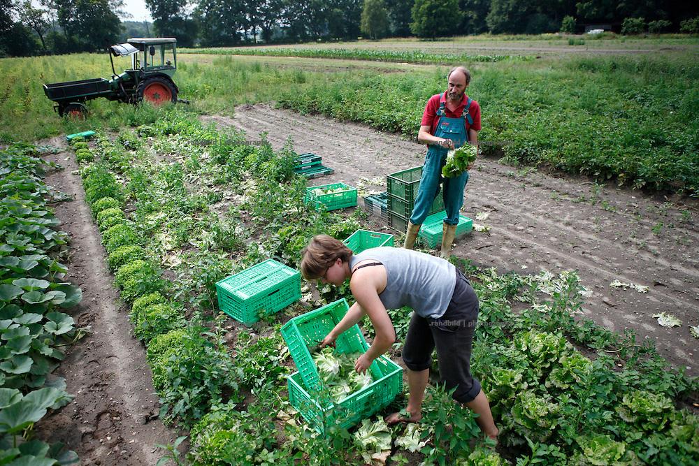 Geschäftsführer und Gärtnermeister Klaus Verbeck erntet mit der Gärtnerin Sarah Kerwath Kopfsalat auf dem Feld des Gärtnerhofs Bienenbüttel