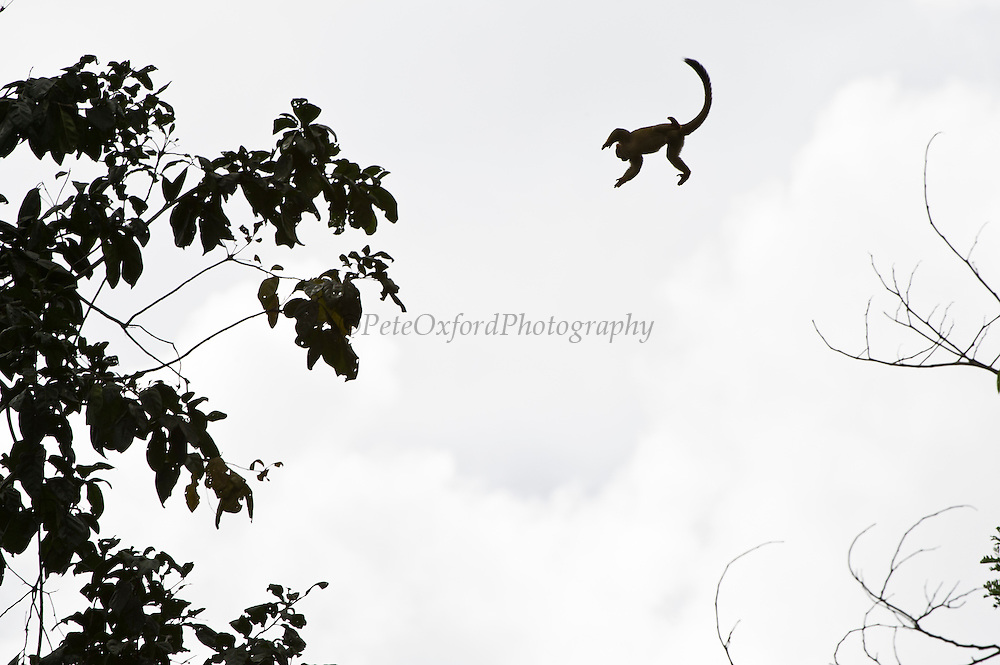Common Squirrel Monkey (Saimiri sciureus) Jumping between trees<br /> Yasuni National Park, Amazon Rainforest<br /> ECUADOR. South America<br /> HABITAT & RANGE: Tropical forests of Brazil, Columbia, Ecuador, French Guiana, Guyana, Peru, Suriname, Venezuela and Puerto Rico.