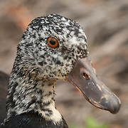 This large, dark, forest duck has white wings when open, with only small patches of white visible when the wings are closed. Most of the body is a dull brown, but the head and upper neck are speckled with white, more densely on females than males.