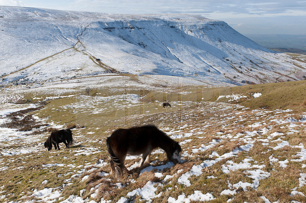 © Licensed to London News Pictures. 16/02/2016. Hay Bluff - Brecon Beacons National Park, Powys, Wales, UK. Windswept Welsh ponies graze at Gospel Pass near Hay Bluff ( near Hay-on-Wye) in the Eastern sector of the Brecon Beacons (The Black Mountains) in Powys, Wales, UK. Snow which fell a week ago still lies on the summits of the Brecon Beacons. Temperatures this morning are several degrees centigrade below zero but with the moderate wind the 'feels like' temperature is around minus 5 - 8 degrees centigrade. Photo credit: Graham M. Lawrence/LNP
