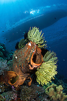 Feather Stars cling to a Barrel Sponge, with a dive boat moored overhead<br /> <br /> Shot in Indonesia