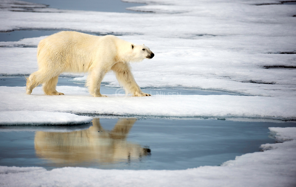 Polar bear (Ursus maritimus) in the pack ice at 81,5 degrees north off Spitsbergen, Svalbard in July 2012.