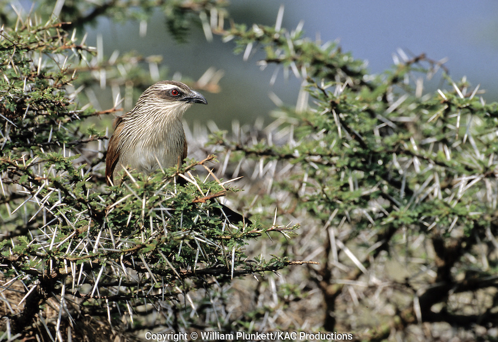 White-browed Coucal (Centropus s. superciliosus), Masai Mara National Preserve, Kenya