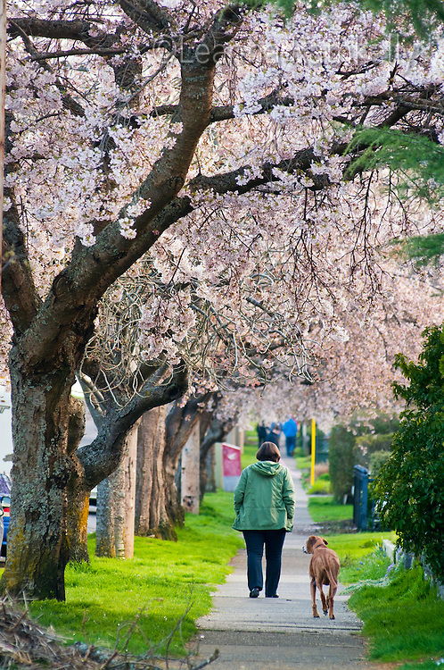 Spring comes early to Victoria, BC as the cherry trees that line Moss Street flower with beautlful blossoms.