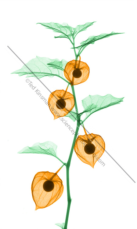 X-Ray of the  Chinese lantern plant, (Physalis alkekengi) also called the winter cherry or bladder cherry is a member of the potato family.  The chinese lantern plant is used mostly for decorative purposes, but is also harvestedfor its fruit. The fruit has twice the Vitamin C of lemons andresembles a blonde-red cherry tomato.