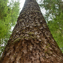 Sitka spruce. Location: Quinault Rain Forest Trail, Olympic National Forest, Washington, US
