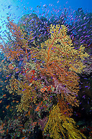"""Explosion"" of Soft Corals and Anthias"
