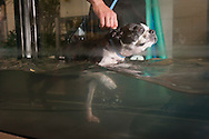 September 28th, 2011. Los Angeles, California. Canine rehab facility Two Hands Four Paws offers treatments like acupuncture, massage, and swim therapy for dogs. Pictured is Winston the Boston Terrier having a shower and then using the underwater treadmill..© JOHN CHAPPLE / www.johnchapple.com