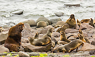 Bull Northern Fur Seal (Callorhinus ursinus) and harem with pups on St. Paul Island in Southwest Alaska. Summer. Afternoon.