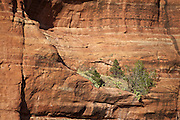 Trees and cactus growing on a ledge on a red rock cliff of Supai Sandstone near Sedona, Arizona