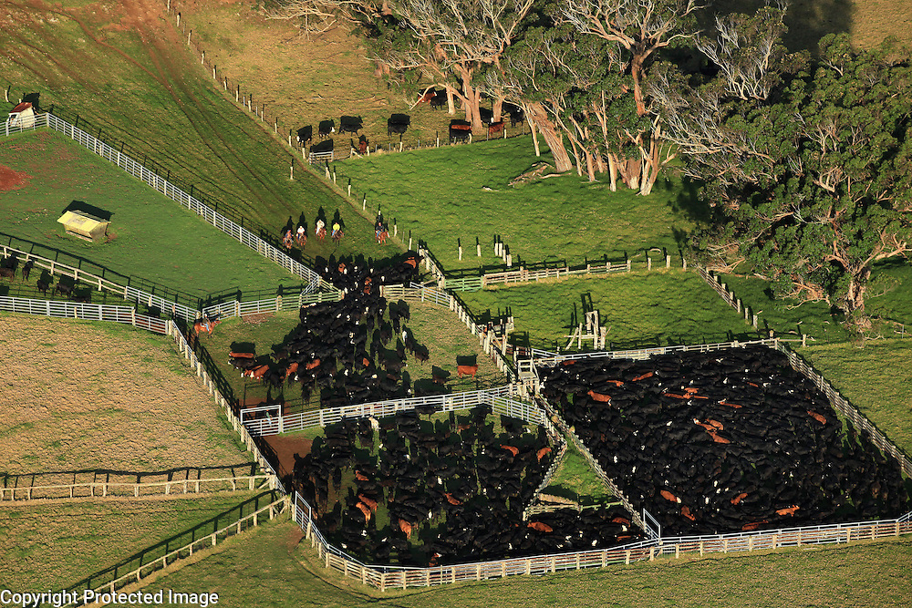 Parker Ranch cowboys herd over 800 cattle into a coral in preparation for weaning calves from mother cows in Waimea, Hawaii.  While each cowboy has responsibility for a different section of the 135,000 acre ranch, all the cowboys work together when working with large herds such as this one. Parker Ranch was the first ranch established in Hawaii and is the largest privately owned ranch in the United States.  It's history is closely connected to the history of the Hawaiian cowboy community.