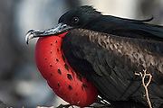 Great frigatebird (Fregata minor) - male with inflated pouch<br /> Punta Cevallos, Española or Hood Island<br /> GALAPAGOS ISLANDS  ECUADOR South America<br /> RANGE: They breed in the w, e and central Pacific and Revillagigedo, Cocos and Galapagos Islands. Also on Trindade Island, Martin Vaz Island and range to Brazil. In the w Indian Ocean on Aldabra and adjacent islands as well as Christmas Island. In the S. China Sea on Paracel Island.<br /> This is one of 2 species found in Galapagos. They have the largest wingspan-to-bodyweight ratio of any bird making them highly manoeuvrable and acrobatic. These seabirds range long distances to feed, scooping fish off the surface as they can not land at sea.