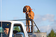 Mike Martinson and his Redbone hound, Clyde, search for black bears near Barnes, Wisconsin.