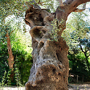 Italy, Sorrento, trunks of ancient olive trees in very high resolution