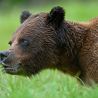 USA, Alaska, Misty Fjords National Monument, Brown (Grizzly) Bear (Ursus arctos) feeding in tall sedge grass along coastline in early summer rain