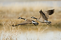 A pair of Canadian Geese takes flight along the Bear River in northern Utah at the Bear River Bird Refuge.