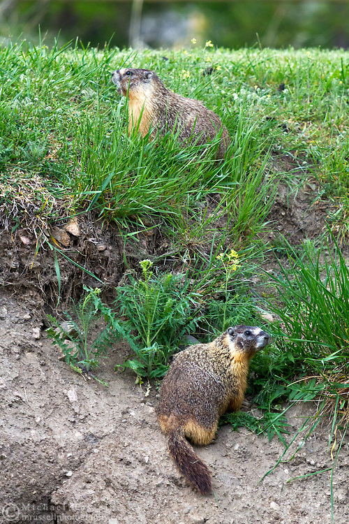 Two Yellow-bellied Marmots (Marmota flaviventris) in Kekuli Bay Provincial Park on Kalamalka Lake near Vernon, British Columbia, Canada