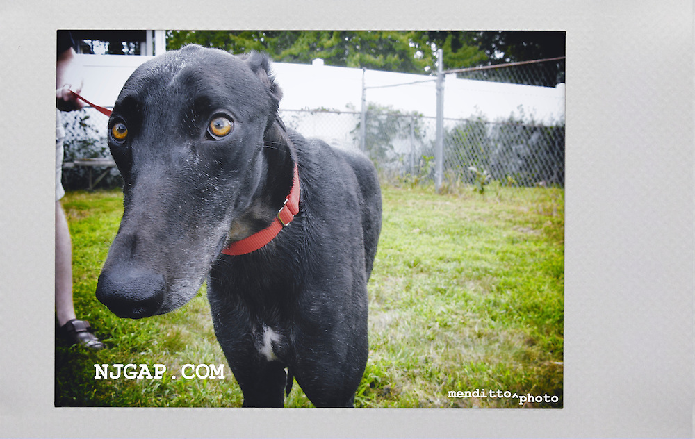 Lamont, from a track in Daytona, at the NJGAP Adoption Intake, ready to go home with his foster family and lots of love.