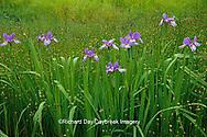 63899-05110 Blue Flag Irises (Iris virginica) in wetland, Marion Co.  IL