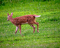Fawn running away. Image taken with a Fuji X-T3 camera and 200 mm f/2 OIS lens with 1.4x teleconverter