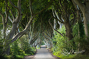 A road leads through the dark hedges, a row of beech trees in Northern Ireland, U.K.