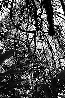 looking up through the jungle canopy of twisted trees and vines along the kinabatangan river in Sabah, Borneo.