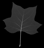 X-ray image of a tulip tree leaf (Liriodendron tulipifera, white on black) by Jim Wehtje, specialist in x-ray art and design images.