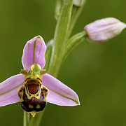 Bee Orchid(Ophrys apifera) flower with flower bud in the background